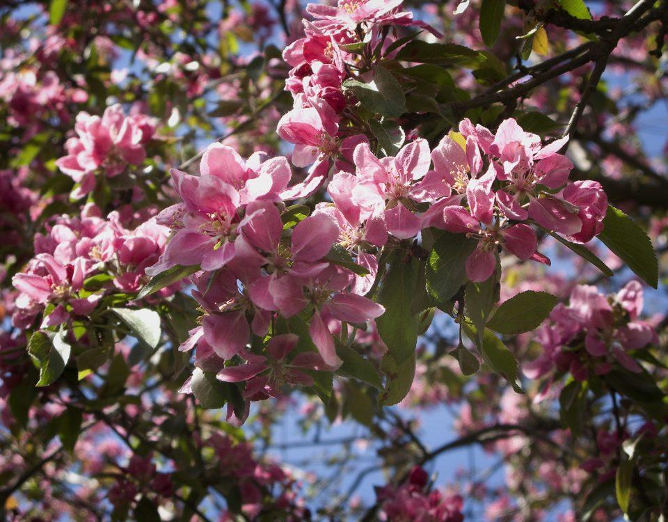 Blommande träd