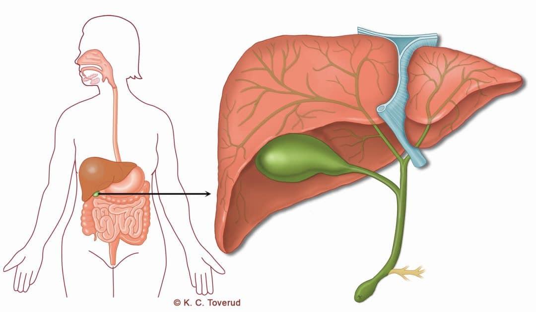 Gallblåsa - Medicinska illustrationer är skapade av Kari C. Toverud CMI