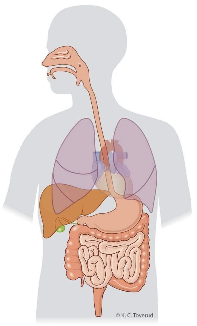 Alla organ - Medicinska illustrationer är skapade av Kari C. Toverud CMI