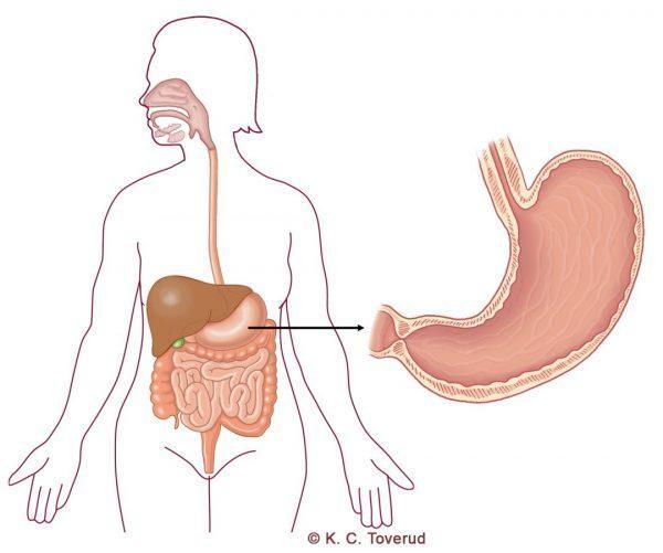 Magsäck - Gallblåsa - Medicinska illustrationer är skapade av Kari C. Toverud CMI
