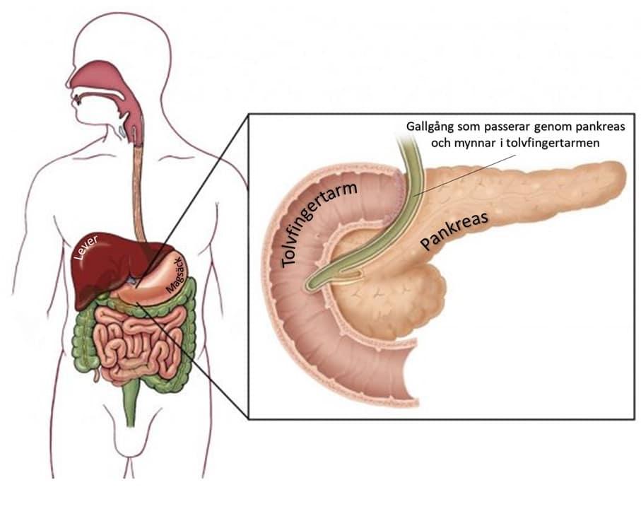 Bukspottkörtel - Medicinska illustrationer är skapade av Kari C. Toverud CMI